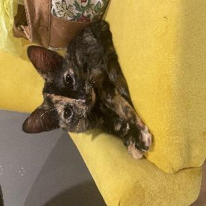 adoptable Cat in Poplar Bluff, MO named Half n Half