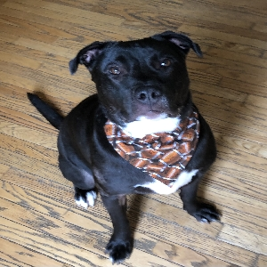 adoptable Dog in North Wales, PA named Owen