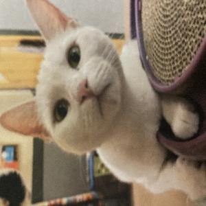 adoptable Cat in Chesapeake, VA named Bean