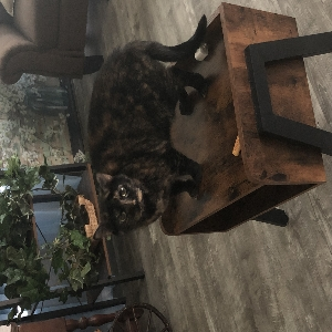 adoptable Cat in Melbourne, FL named Jazzy