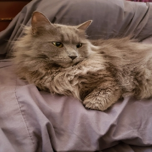 adoptable Cat in Saint Albans, NY named Fluffy