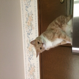adoptable Cat in Brookfield, WI named Ginger