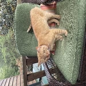 adoptable Cat in Lebanon, TN named Pumpkin Pie