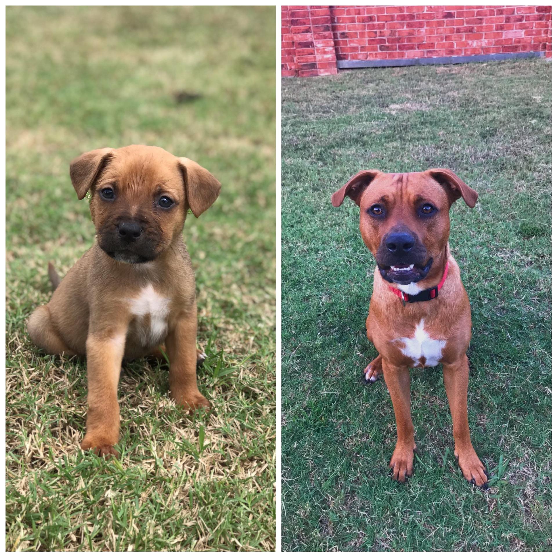 adoptable Dog in Kaufman,TX named Jax