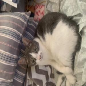 adoptable Cat in Alexandria,VA named Diva