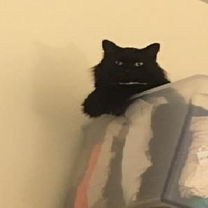 adoptable Cat in Alexandria,VA named Foxy