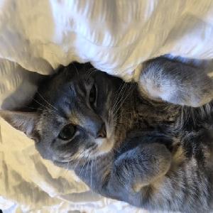 adoptable Cat in Honolulu, HI named Muffin