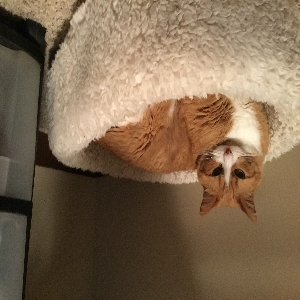 adoptable Cat in Altoona, IA named Domestic
