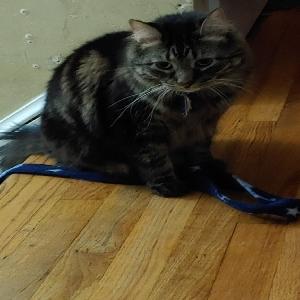 adoptable Cat in Virginia Beach,VA named Pirate