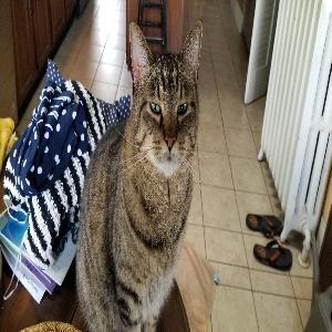 adoptable Cat in Florissant, MO named Bleaker