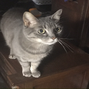 adoptable Cat in Saint Louis, MO named Tiger