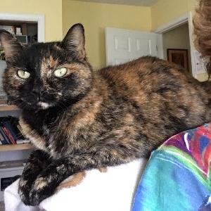 adoptable Cat in Jonesburg, MO named Daisy Belle