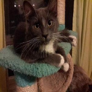 adoptable Cat in Saint Louis, MO named Opal
