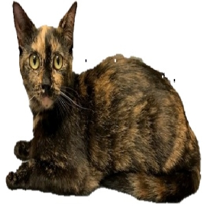 adoptable Cat in Myrtle Beach, SC named Emily