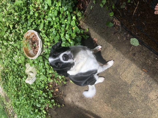 adoptable Dog in Springfield,VA named Apollo