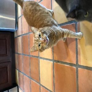 adoptable Cat in Deridder, LA named Dude